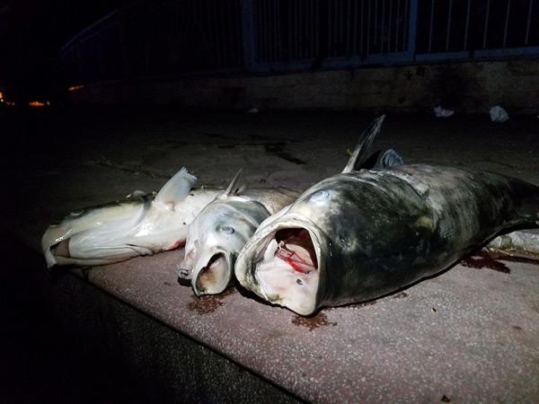 Hơn 40 công nhân xuyên đêm vớt cá chết ở hồ Hoàng Cầu - 3