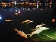 Tin tức trong ngày - Hơn 40 công nhân xuyên đêm vớt cá chết ở hồ Hoàng Cầu