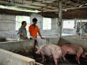 """Thị trường - Tiêu dùng - """"Chìa khóa"""" mở thị trường lợn vào Trung Quốc và các nước là gì?"""