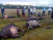 Quảng Trị: Sét liên tiếp đánh chết 1 người, 7 con trâu
