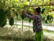 Thị trường - Tiêu dùng - Trồng bí thơm đặc sản, nhà nông phấn chấn thu 200 triệu/ha