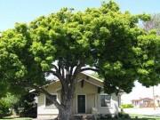 Tại sao lại đặt tên cây trồng trước nhà là cây đen đủi, cây thất bát ?