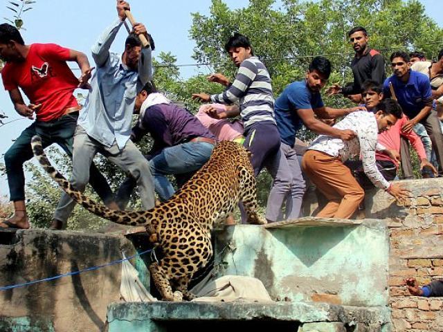 Ấn Độ: Đụng độ đám đông 1.500 người, báo đốm chết thảm