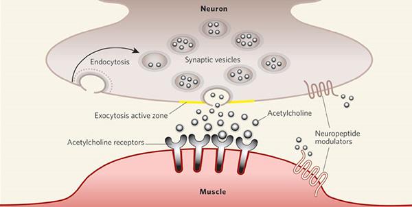 Acetylcholine – Bước đột phá mới trong điều trị suy giảm trí nhớ - ảnh 3