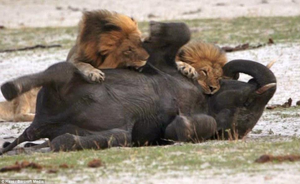 Đàn sư tử châu Phi tàn sát 1.500 người đẫm máu nhất lịch sử - 3