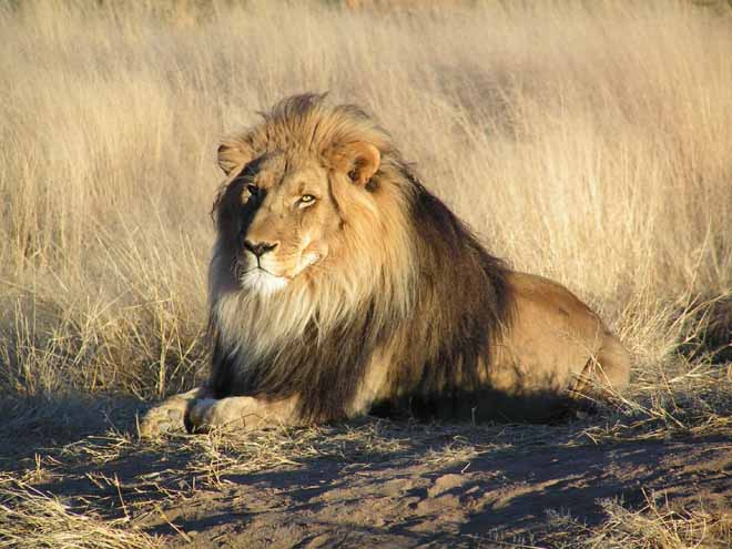 Đàn sư tử châu Phi tàn sát 1.500 người đẫm máu nhất lịch sử - 2