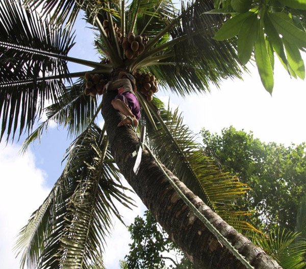 Chùm ảnh: Cụ bà 60 tuổi vẫn phải kiếm sống trên ngọn dừa - 5