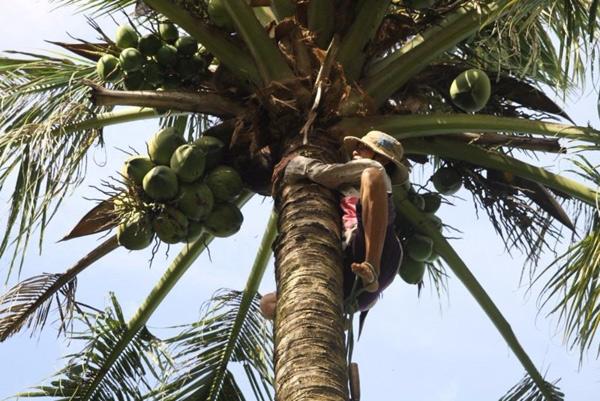 Chùm ảnh: Cụ bà 60 tuổi vẫn phải kiếm sống trên ngọn dừa - 6