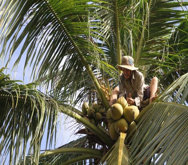 Chùm ảnh: Cụ bà 60 tuổi vẫn phải kiếm sống trên ngọn dừa - 7