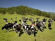 Thế giới - Triệu phú Anh bị đàn gia súc giẫm chết bí ẩn
