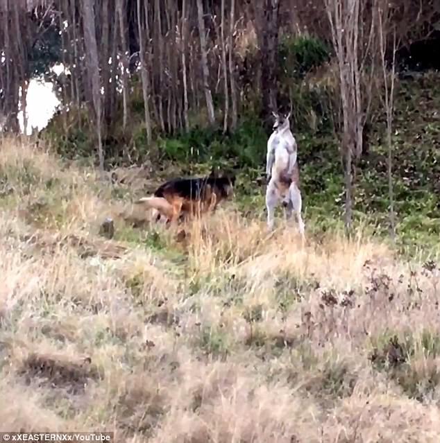 Chó béc-giê đối đầu kangaroo, con nào chiến thắng? - 1