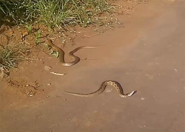 Video: Hổ mang chúa cắn ngập răng, đoạt mạng rắn kịch độc - 2