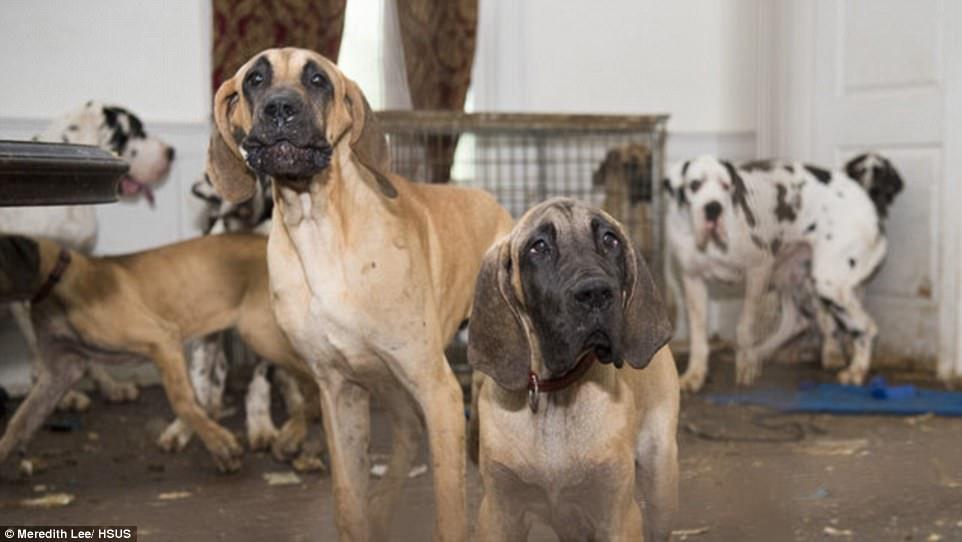 84 chó khổng lồ bị nhốt trong biệt thự siêu bẩn ở Mỹ - ảnh 5