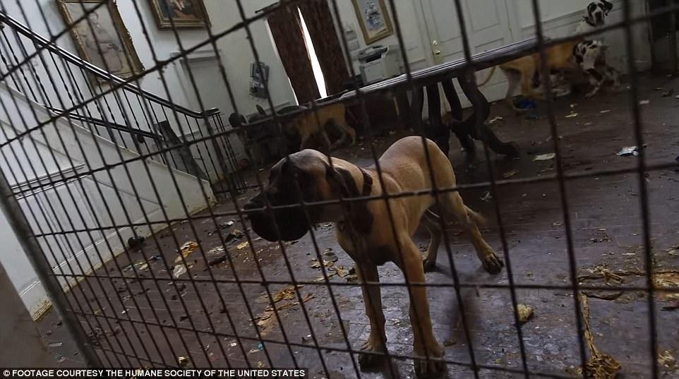84 chó khổng lồ bị nhốt trong biệt thự siêu bẩn ở Mỹ - ảnh 3