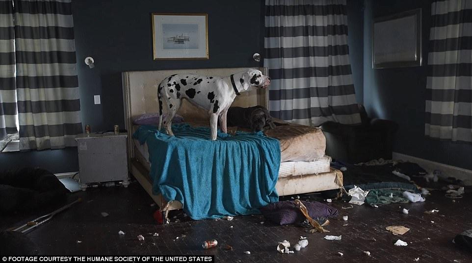 84 chó khổng lồ bị nhốt trong biệt thự siêu bẩn ở Mỹ - ảnh 2
