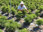 """Thị trường - Tiêu dùng - Chỉ trồng 2 loài cây thuốc bổ, """"soái ca"""" miệt vườn thu ngót 1 tỷ/năm"""