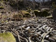 Thế giới - Ngàn con rắn lúc nhúc cuộn vào nhau giao phối ở Canada