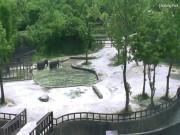 Phi thường - kỳ quặc - 2 voi hợp sức tài tình giải cứu voi con đuối nước