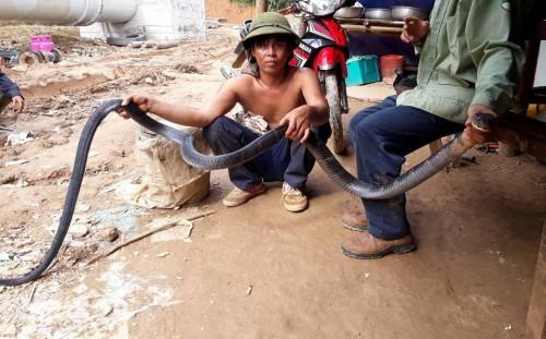 Nghệ An: Người dân bắt được rắn hổ mang chúa dài hơn 3m - 1