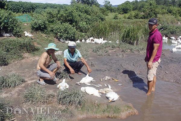 Quảng Nam: Rụng rời chân tay vì cá, vịt bất ngờ lăn ra chết - 2