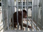 Được bạn tặng khỉ quý hiếm, người đàn ông giao nộp để bảo tồn