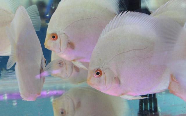 Nhiều loài cá cực dị, giá nghìn đô lần đầu xuất hiện tại triển lãm - 2