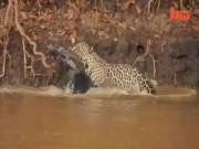 Thế giới - Video: Báo đốm phi thân xuống sông cắn đứt cổ cá sấu