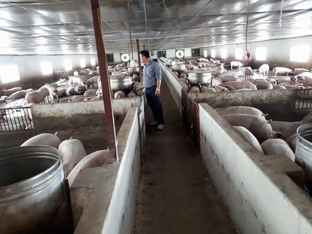 """Sau 2 tháng giải cứu, người nuôi lợn vẫn """"thở ôxy"""" - 2"""