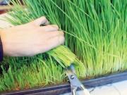 Sức khỏe đời sống - Thực hư cỏ lúa mì, gạo lứt diệt tế bào ung thư