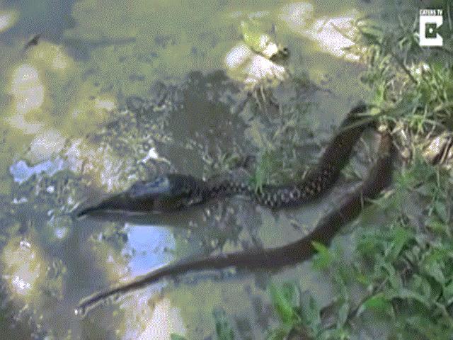 Bị rắn khổng lồ nuốt, cá dùng đòn độc chiến đấu đến cùng