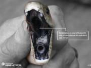 Thế giới - Nam Phi: Bắt rắn nguy hiểm nhất thế giới mò vào nhà dân