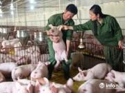 Thị trường - Tiêu dùng - Tiêu thụ hơn 2,2 triệu tấn lợn hơi, đến lượt người nuôi gia cầm than lỗ