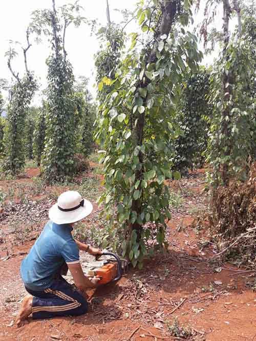 Giá tiêu giảm còn 54.000 đ/kg, nông dân dùng cả cưa máy chặt tiêu - 2