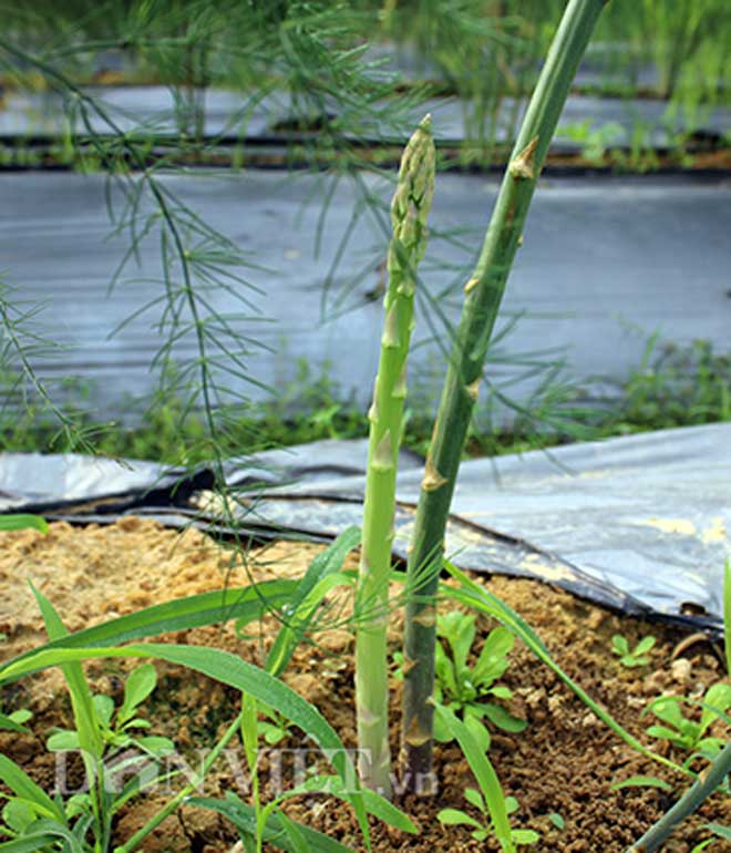 """""""Nể phục"""" thầy giáo xứ Nghệ về vườn trồng cây tiền tỷ măng tây - 7"""