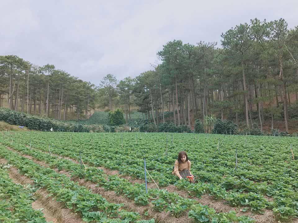 Lên Đà Lạt một ngày làm nông dân thu hoạch dâu tây - 12