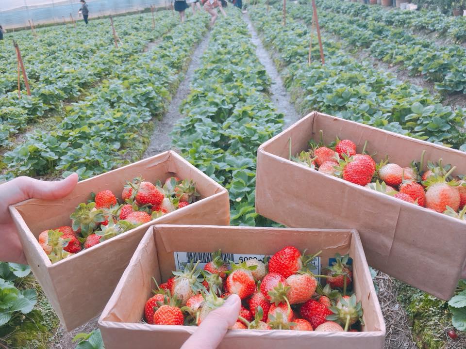 Lên Đà Lạt một ngày làm nông dân thu hoạch dâu tây - 8