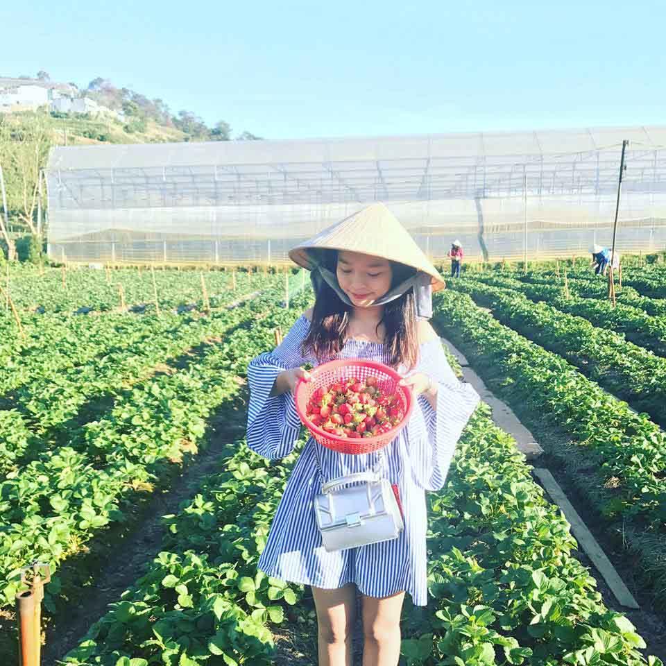 Lên Đà Lạt một ngày làm nông dân thu hoạch dâu tây - 10