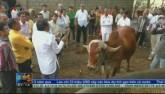 Phát hiện vàng trong nước tiểu ở giống bò tại Ấn Độ