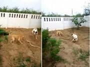 Thế giới - Video: Chó chiến đấu với rắn khổng lồ bảo vệ nhà chủ