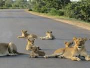 """Phi thường - kỳ quặc - Ấn Độ: Cả đàn 45 sư tử """"hành quân"""" vào thành phố"""