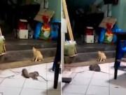 Phi thường - kỳ quặc - Video: Mèo sợ khiếp vía khi thấy chuột đánh nhau