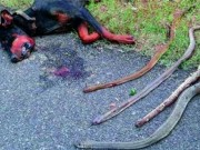 Bạn trẻ - Cuộc sống - Chú chó hy sinh thân mình cứu chủ khỏi bầy rắn độc