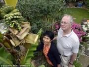 Phi thường - kỳ quặc - Cây chuối trồng 20 năm mới ra quả
