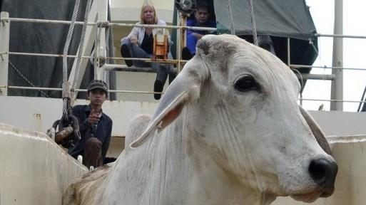 Cấm xuất khẩu bò Úc sang VN: Đang dừng để điều tra - 1