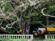 """Du lịch - Ngôi làng bí ẩn với """"cây thần"""" khử mùi xác thối"""
