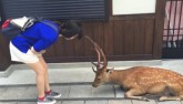 Video: Hươu Nhật cúi đầu cảm ơn như người khi được cho ăn