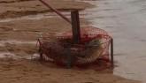 Video: Hoảng hồn vì đặt bẫy cua bắt được... cá sấu