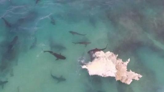 Video: 40 cá mập cắn xé xác cá voi khổng lồ