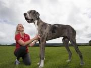 Thế giới - Ngắm chú chó cao nhất thế giới 2,1m