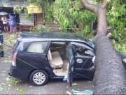 Tin tức trong ngày - Xà cừ đổ ngang ô tô, 2 bố con thoát chết trong gang tấc
